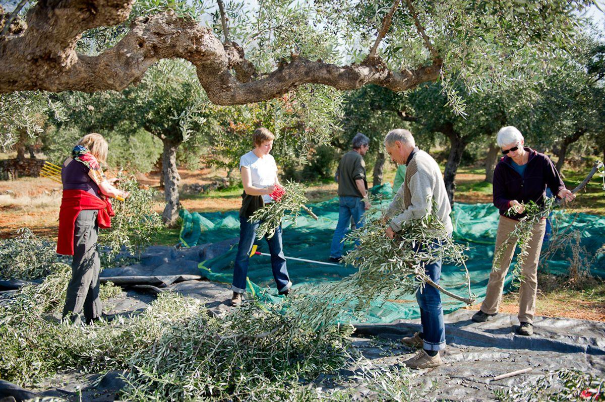 Olivenpflücken & Wandern