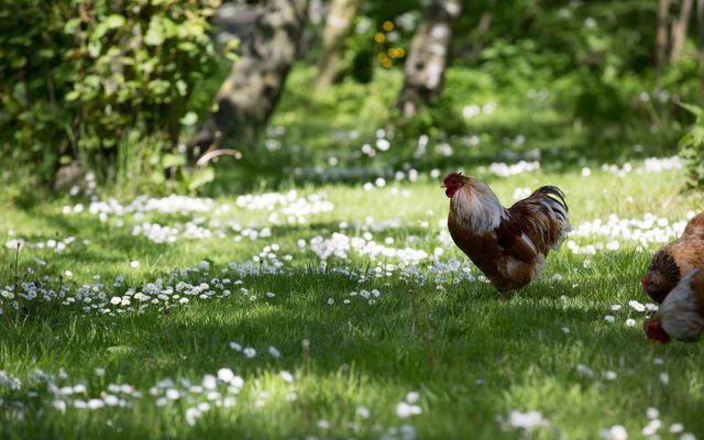 Biohotel Haus am Watt: Hühner