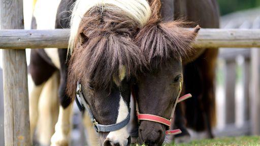 Süße Ponys, zottelige Schafe, treuherzige Ziegen und putzige Hasen tummeln sich im Alfamilyhotel Scherer.
